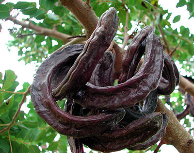 what-is-carob-pod