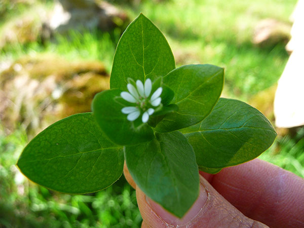 what-is-chickweed-green