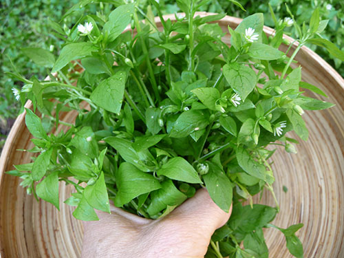 what-is-chickweed-harvest