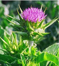 what-is-milk-thistle-plant