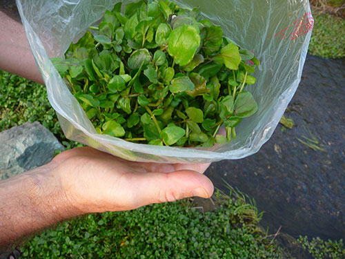 Wild Edibles ~ Watercress | Culinary Craftiness