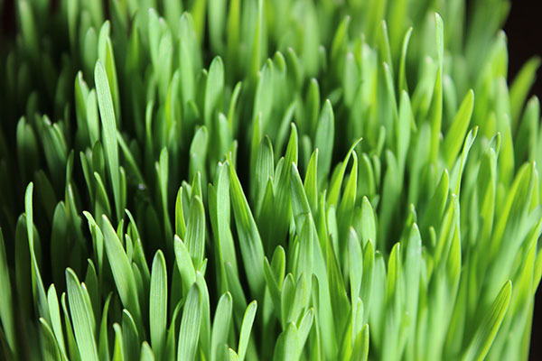 what-is-wheatgrass