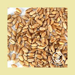 wheat-hard-seed-wheatgrass-kits