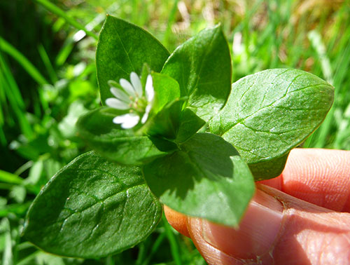 wild-chickweed-benefits-to-health