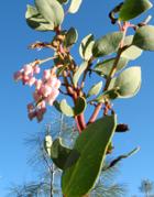 wild-edible-flowers-manzanita
