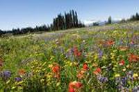 wild-edible-flowers