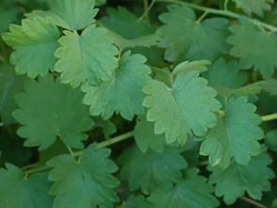 wild-edible-greens-salad-burnet-greens