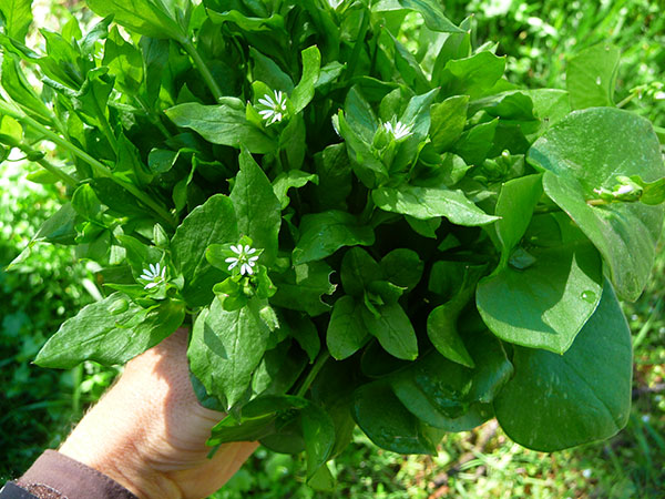 wild-edible-greens