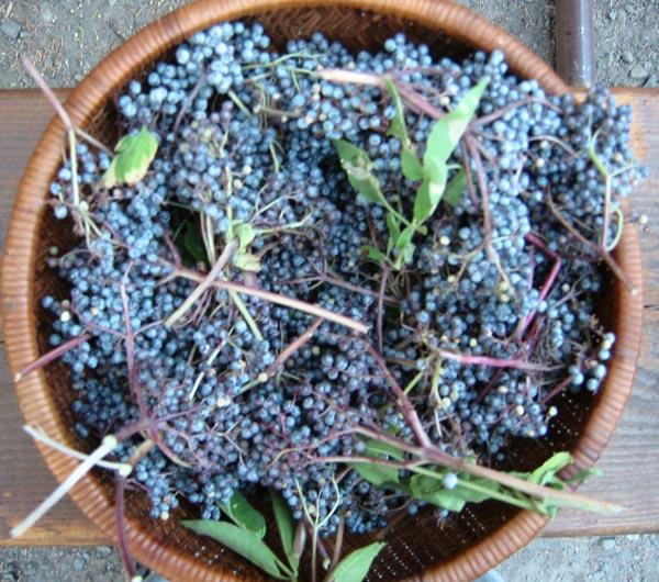 wild-elderberries