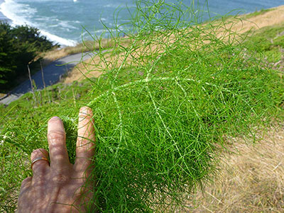 wild-fennel-plant-edible-wild-plants