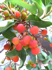 wild-foods-madrone-berries