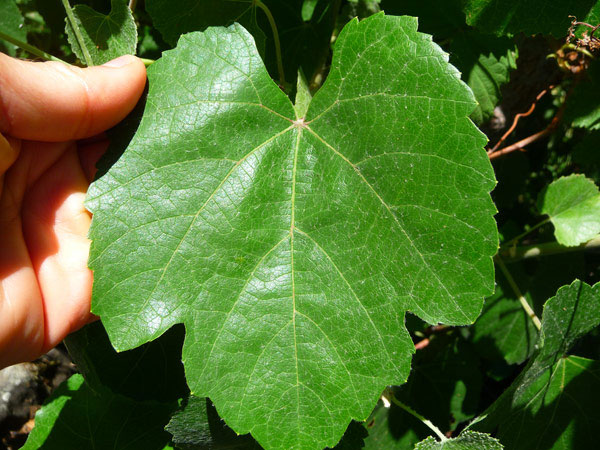 wild-grape-leaf-2