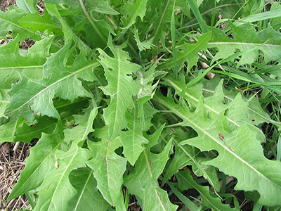 wild-greens-chicory-greens