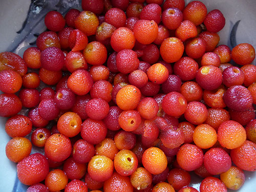 wild-harvested-madrone-berries