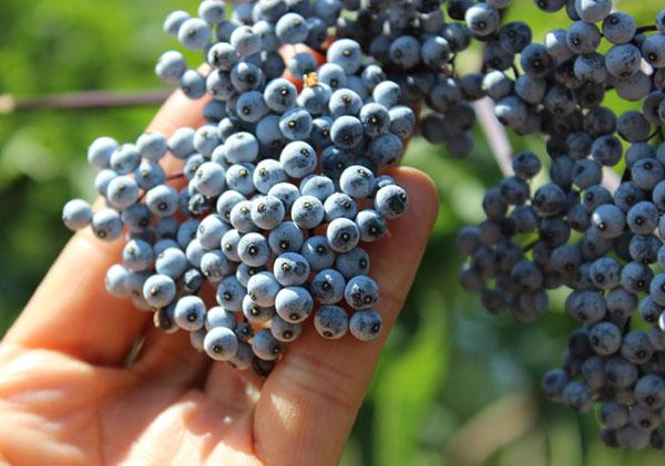 wild-herbs-list-elderberries