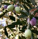 wild-olives