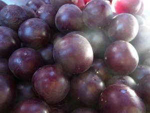 wild-plum-harvest