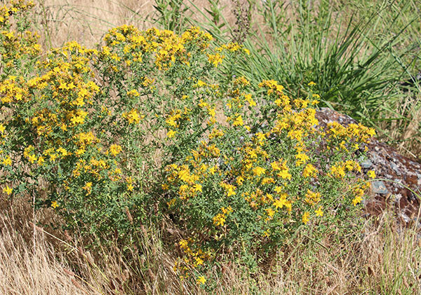 wild-st-johns-wort-plant