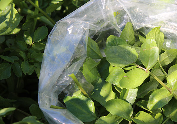 wild-watercress-harvest