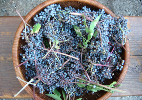wils-edible-foods-elderberries