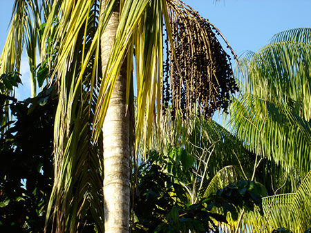 acai-berry-powder-palm-tree-fruit