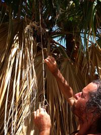 california-palm-tree-fruit-2