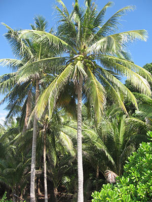 coconut-nectar-coconut-palms