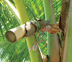 coconut-palm-nectar-tapping-stems