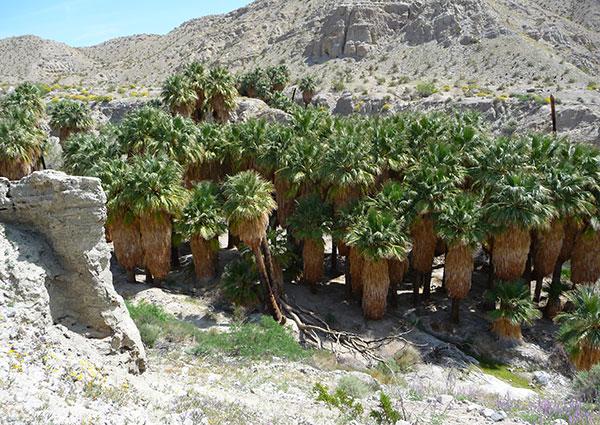 desert-fan-palm-oasis