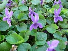 edible-violet-flowers.