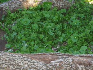 edible-wild-plants-miners-lettuce-leaves