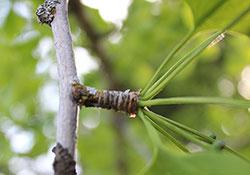 ginkgo-biloba-leaf-harvest