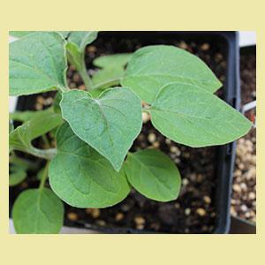golden-berry-seeds-horizon-herbs
