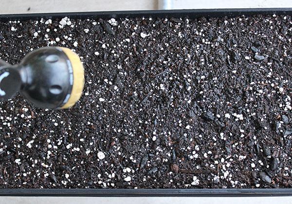 growing-pea-spouts-tray-soil-mist