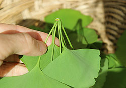 harvesting-ginkgo-biloba-leaves