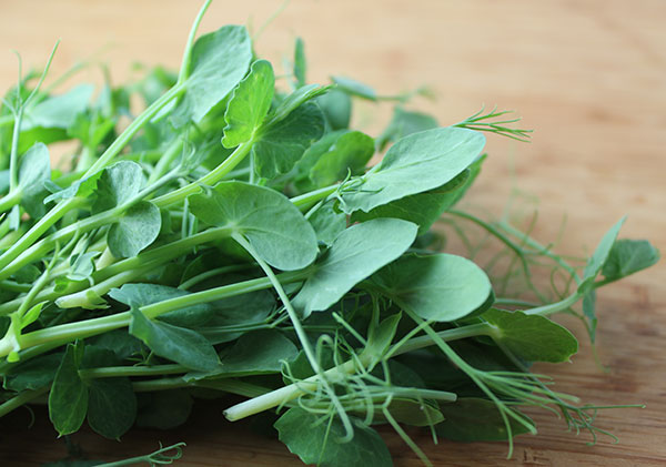 harvesting-pea-shoots