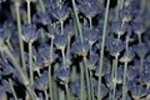 herbs-and-spices-list-lavender