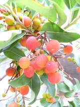 madrone-berry-4