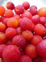 harvesting madrone-berries