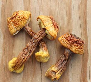 medicinal-mushrooms-agaricus-blazei