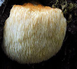medicinal-mushrooms-list-lions