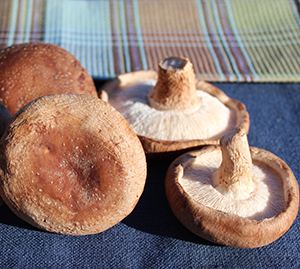 medicinal-mushrooms-list-shiitake