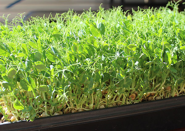 pea-shoots-greening