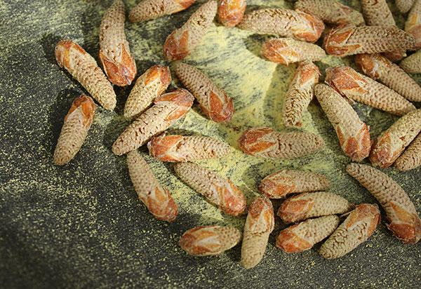 pine-pollen-benefits-wild-harvest