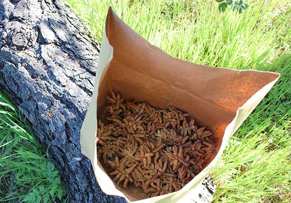 pine-pollen-tincture-wild-harvest