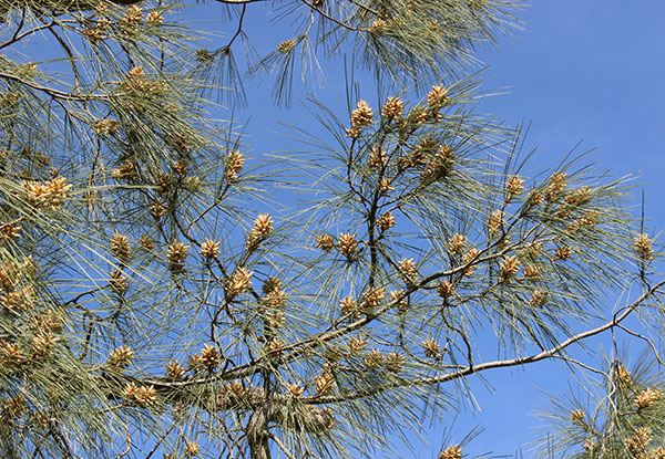 pine-tree-male-catkin-cones