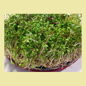 sprouting-salad-mix-seeds-sproutman