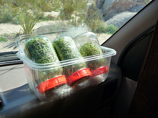 sprouting-seeds-on-vehicle-dash