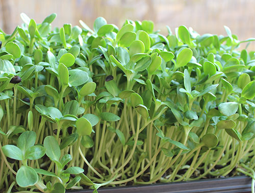 sunflower-sprouts-greens