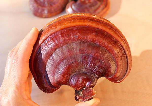 top-superfood-reishi